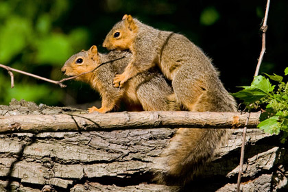 Eastern Fox Squirrel Picture