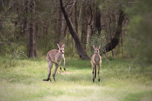 Eastern Grey Kangaroo Photo @ Kiwifoto.com
