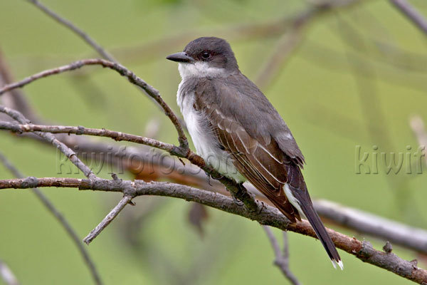 Eastern Kingbird Photo @ Kiwifoto.com
