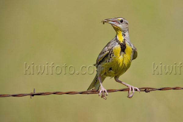 Eastern Meadowlark Photo @ Kiwifoto.com