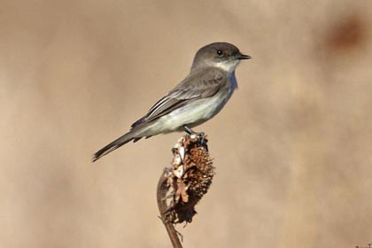 Eastern Phoebe Photo @ Kiwifoto.com