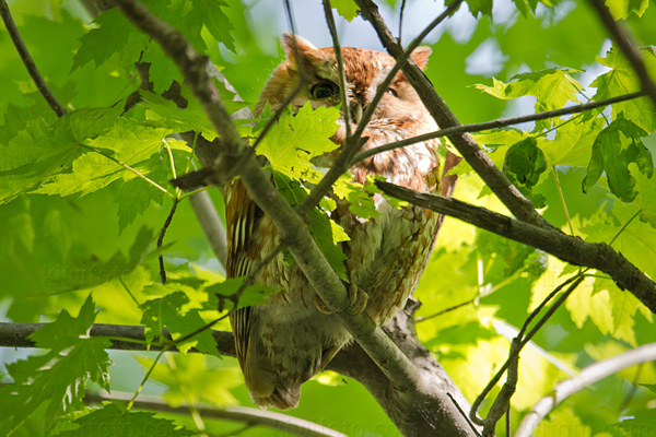 Eastern Screech-Owl Photo @ Kiwifoto.com