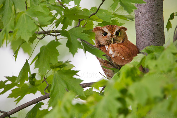 Eastern Screech-Owl @ Maumee Bay State Park, OH