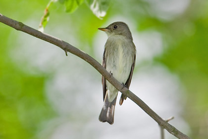 Eastern Wood-Pewee Photo @ Kiwifoto.com