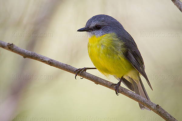 Eastern Yellow Robin Picture @ Kiwifoto.com