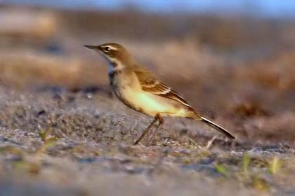Eastern Yellow Wagtail Picture @ Kiwifoto.com
