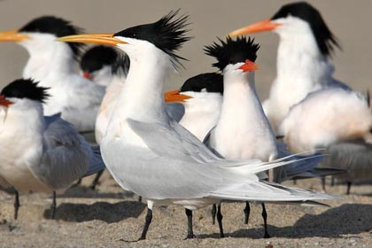 Elegant Tern Photo @ Kiwifoto.com