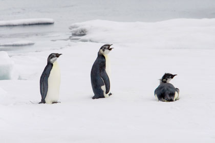 Emperor Penguin Photo @ Kiwifoto.com