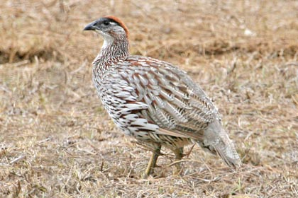 Erckel's Francolin Picture
