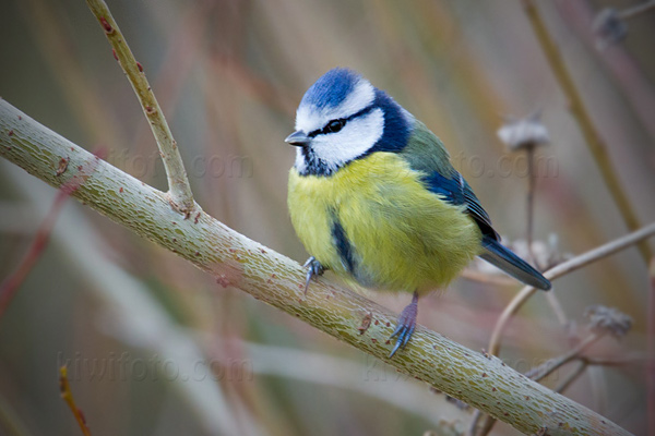Eurasian Blue Tit Photo @ Kiwifoto.com
