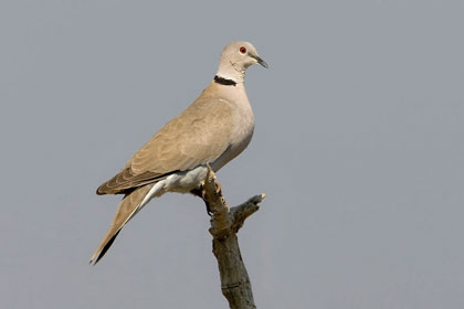 Eurasian Collared-Dove Picture @ Kiwifoto.com