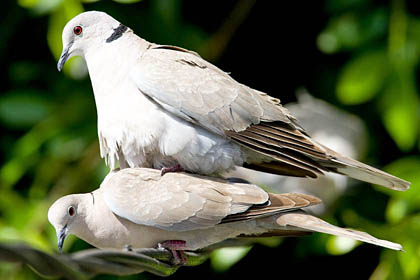 African collared dove vs eurasian collared dove - photo#12