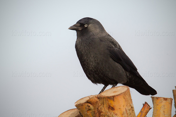 Eurasian Jackdaw Photo @ Kiwifoto.com