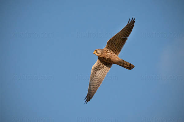 Eurasian Kestrel Photo @ Kiwifoto.com
