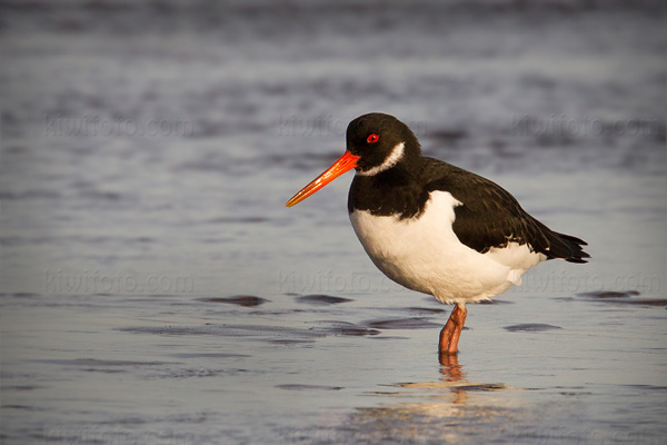Eurasian Oystercatcher Photo @ Kiwifoto.com