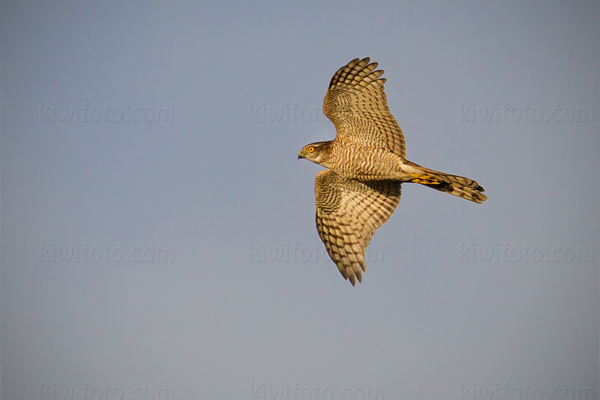 Eurasian Sparrowhawk Photo @ Kiwifoto.com