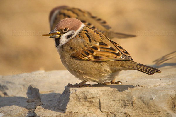 Eurasian Tree Sparrow Photo @ Kiwifoto.com