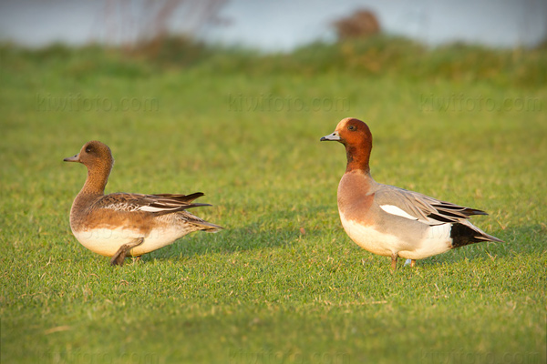 Eurasian Wigeon Photo @ Kiwifoto.com