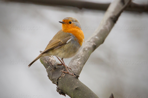 European Robin Photo @ Kiwifoto.com
