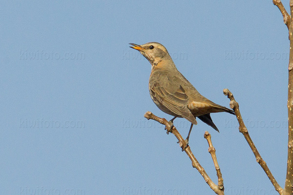 Eyebrowed Thrush Picture @ Kiwifoto.com