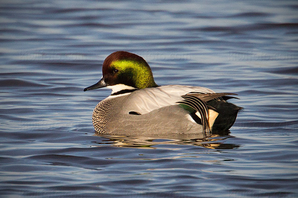 Falcated Duck Photo @ Kiwifoto.com