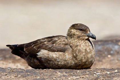 Falkland Skua Photo @ Kiwifoto.com