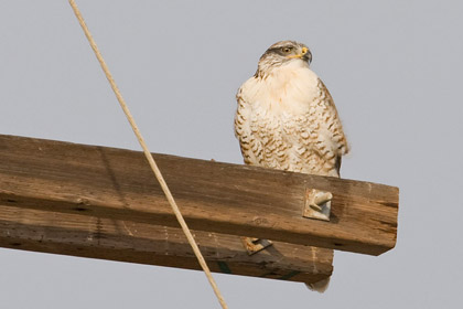 Ferruginous Hawk Photo @ Kiwifoto.com