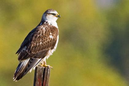 Ferruginous Hawk (juv)