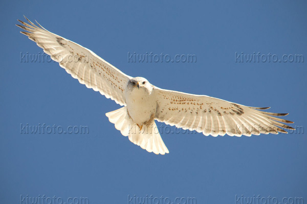 Ferruginous Hawk (Light Morph)