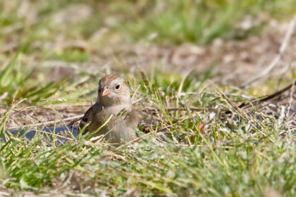 Field Sparrow Photo @ Kiwifoto.com