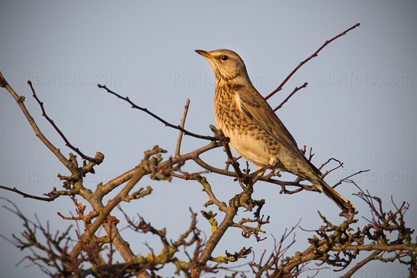 Fieldfare Photo @ Kiwifoto.com