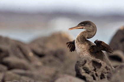 Flightless Cormorant Picture @ Kiwifoto.com