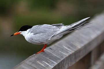 Forster's Tern Picture @ Kiwifoto.com