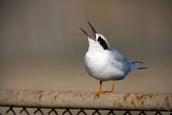 Forster's Tern Photo @ Kiwifoto.com