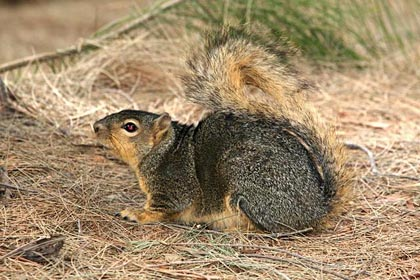 Fox Squirrel Image @ Kiwifoto.com