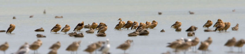 Fulvous Whistling-Duck Image