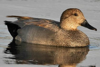 Gadwall Photo @ Kiwifoto.com