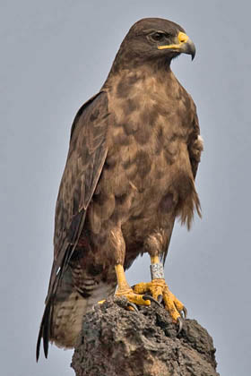 Galápagos Hawk Photo @ Kiwifoto.com