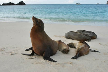 Gal�pagos Sea Lion Picture @ Kiwifoto.com