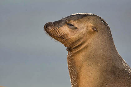 Galápagos Sea Lion Picture @ Kiwifoto.com