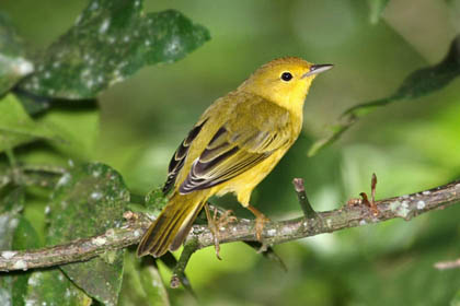 Galápagos Yellow Warbler Photo @ Kiwifoto.com