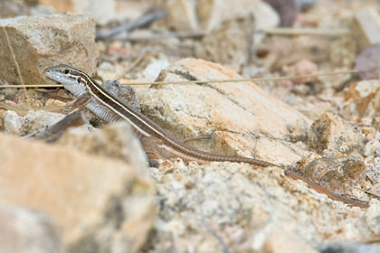 Giant Spotted Whiptail (juvenile)