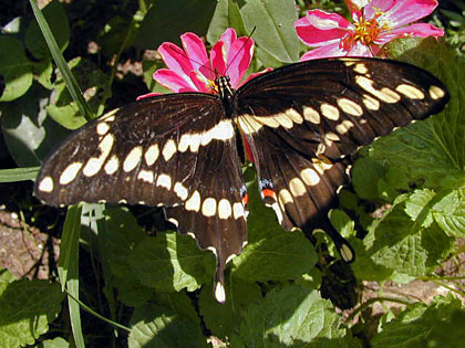 Giant Swallowtail Picture @ Kiwifoto.com