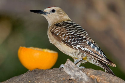 Gila Woodpecker Photo @ Kiwifoto.com