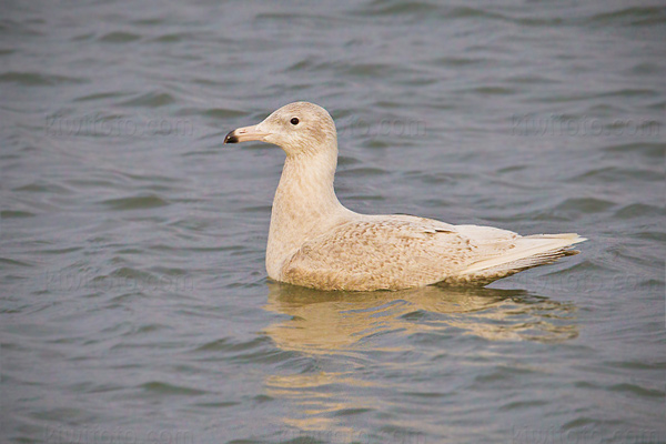 Glaucous Gull Picture