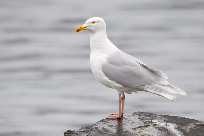 Glaucous Gull Photo @ Kiwifoto.com