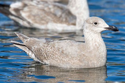 Glaucous-winged Gull (1st year)