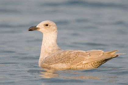 Glaucous-winged Gull Picture @ Kiwifoto.com