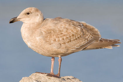 Glaucous-winged Gull Photo