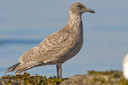 Glaucous-winged Gull (1st Yr. Juvenile)